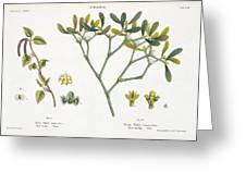 Birch And Mistletoe Greeting Card