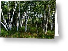 Birch Grove In The Sunlight Greeting Card