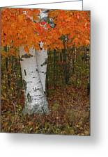 Birch In Autumn Greeting Card