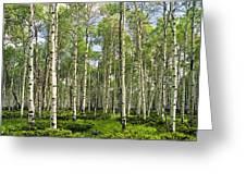 Birch Tree Grove In Summer Greeting Card