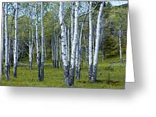 Birch Tree Grove No. 0133 A Fine Art Photograph Greeting Card