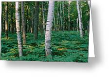 Birch Trees In A Forest Greeting Card