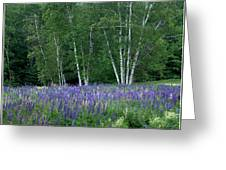 Birches In The Blue Lupine Greeting Card