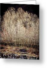 Birches In Winter Greeting Card