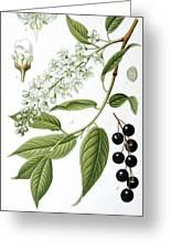 Bird Cherry Cerasus Padus Or Prunus Padus Greeting Card