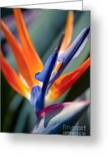 Bird Of Paradise - Strelitzia Reginae  Greeting Card