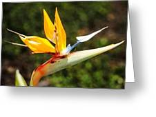 Bird Of Paraidise Greeting Card