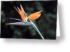 Bird Of Paridise Greeting Card