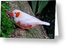 Male Zebra Finch Greeting Card