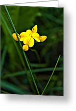 Bird's-foot Trefoil Greeting Card
