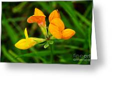 Birdsfoot Trefoil Greeting Card