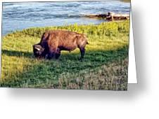 Bison 4 Greeting Card
