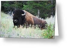 Bison At Rest Greeting Card