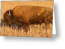 Bison At The Elk Ranch In Grand Teton National Park Greeting Card