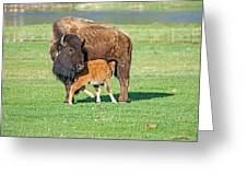 Bison Baby And Mom Greeting Card