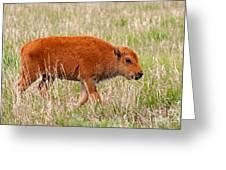 Bison Calf Grand Teton National Park Greeting Card