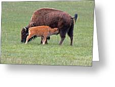 Bison Calf Having Breakfast In  Yellowstone National Park Greeting Card