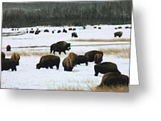 Bison Cows Browsing Greeting Card