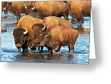 Bison Family In The Lamar River In Yellowstone National Park Greeting Card