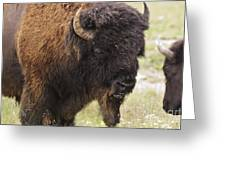 Bison From Yellowstone Greeting Card