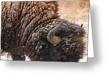 Bison In Snow_1 Greeting Card by Tom Potter