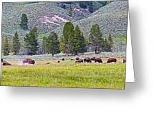 Bison Kicking Up Dust In The Meadow In Yellowstone National Park-wyoming  Greeting Card