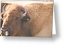 Bison Lick Greeting Card