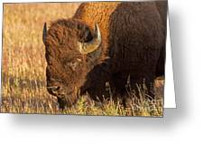 Bison Potrait At Teh Elk Ranch In Grand Teton National Park Greeting Card