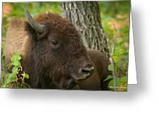 Bison Resting Greeting Card