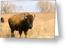 Bison Tall Grass Greeting Card