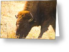 Bison Wander Greeting Card