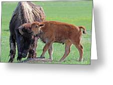 Bison With Young Calf Greeting Card