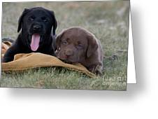 Black And Chocolate Labradors Greeting Card