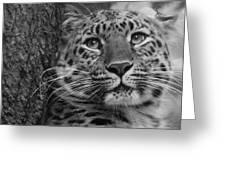 Black And White Amur Leopard Greeting Card