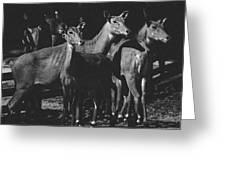 Black And White Antelopes Greeting Card