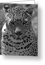 Black And White Leopard Portrait  Greeting Card