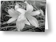 Black And White Lilies Greeting Card