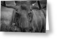 Black And White Moose Close Up Greeting Card
