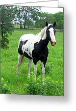 Black And White Paint Horse Greeting Card