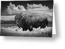 Black And White Photograph Of An American Buffalo Greeting Card