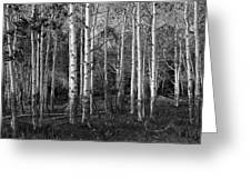 Black And White Photograph Of Birch Trees No. 0126 Greeting Card