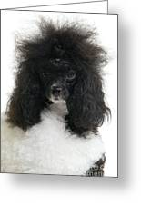 Black And White Poodle Greeting Card