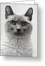 Black And White Siamese Cat Greeting Card