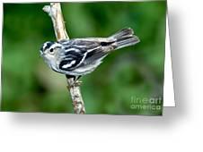 Black-and-white Warbler Mniotilta Varia Greeting Card