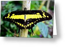Black And Yellow Swallowtail Butterfly Greeting Card