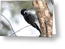 Black-backed Profile Greeting Card