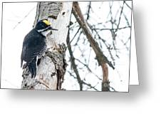 Black-backed Woodpecker Greeting Card
