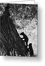 Black Bear Cubs Climbing A Tree Greeting Card