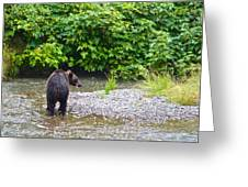 Black Bear Eating A Salmon In Fish Creek In Tongass National Forest-ak Greeting Card