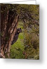 Black Bear In A Tree Greeting Card